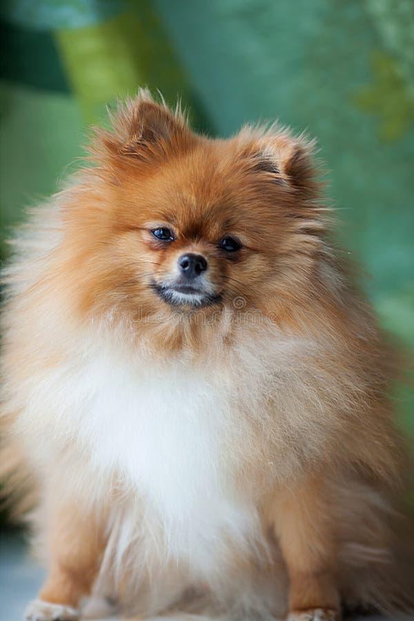 Fluffigt gulligt Pomeranian sammanträde på en grön bakgrund arkivfoto