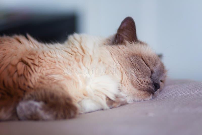 Fluffigt kvinnlig Ragdoll Cat Napping på en filt fotografering för bildbyråer