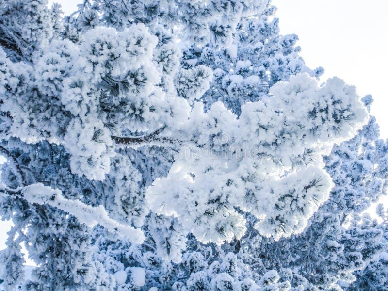 Fluffigt sörja filialen som täckas med tjock rimfrost royaltyfri foto