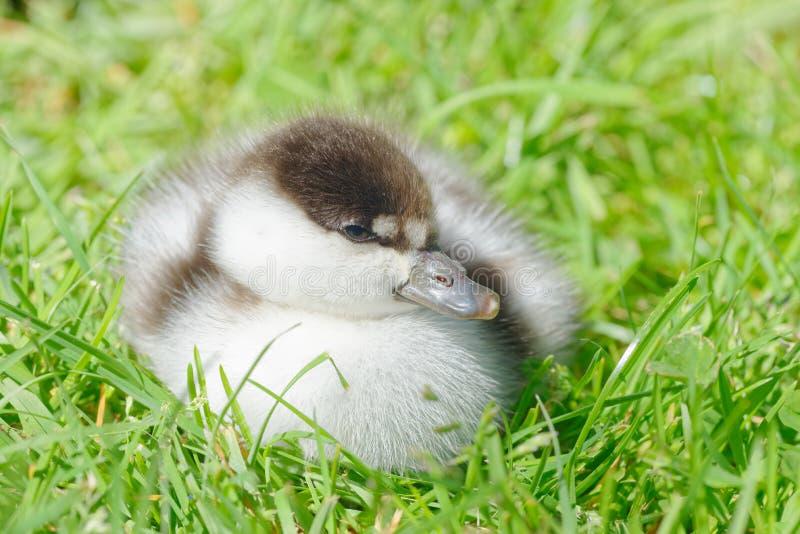 Fluffly un caneton de canard de paradis se reposant sur l'herbe image stock
