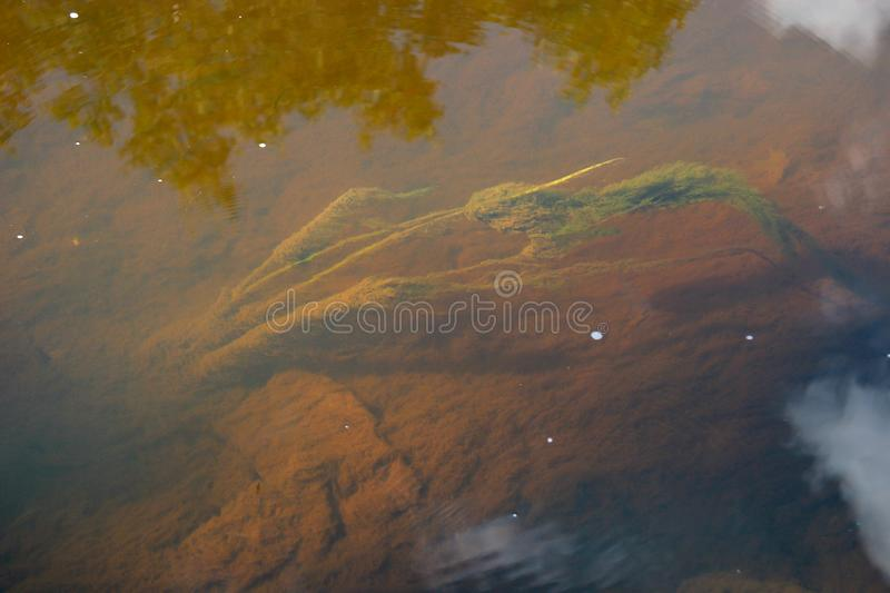 Fluffy algae under water with a muddy bottom. royalty free stock images