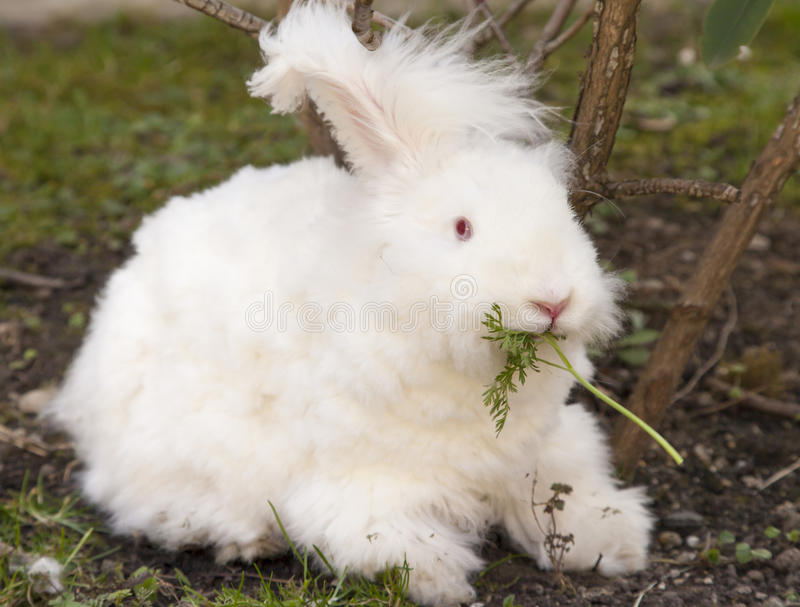 Fluffy angora rabbit eating herbs on grass. Cute fluffy angora bunny rabbit sitting on grass and eating parsley, carrot, selective focus royalty free stock photography