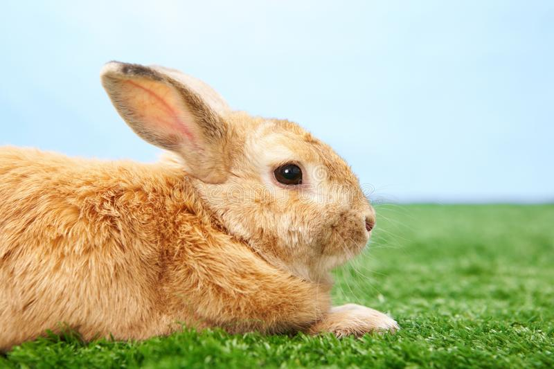 Download Fluffy animal stock photo. Image of cautious, fuzzy, hare - 15852896