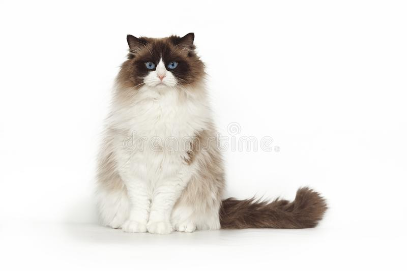 Fluffy beautiful cat ragdoll with blue eyes posing while sitting on studio white background. Cat isolated on white. Fluffy beautiful white cat ragdoll with blue stock photos