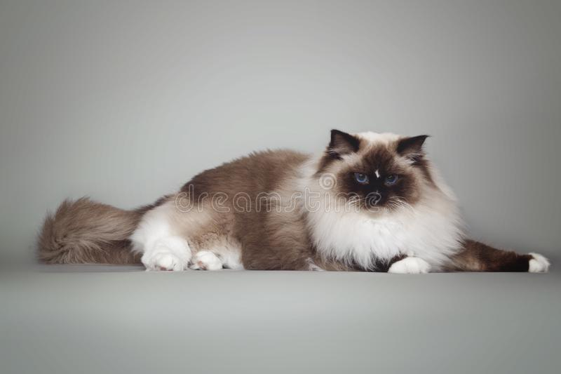 Fluffy beautiful white cat ragdoll with blue eyes posing lying on gray background. Fluffy beautiful white cat ragdoll with blue eyes posing lying on studio gray royalty free stock images