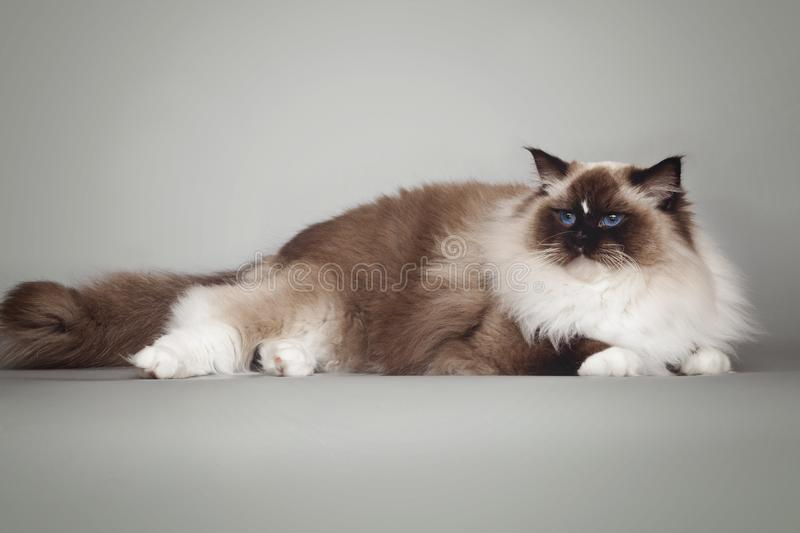 Fluffy beautiful white cat ragdoll with blue eyes posing lying on gray background. Fluffy beautiful white cat ragdoll with blue eyes posing lying on studio gray stock photography