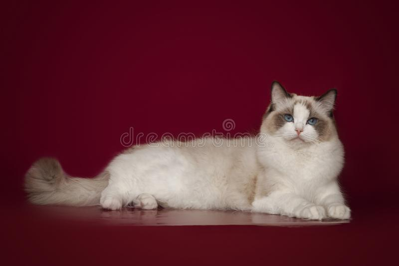 Fluffy beautiful white cat ragdoll with blue eyes, posing lying on red background. Fluffy beautiful white cat ragdoll with blue eyes, posing lying on studio red royalty free stock photos