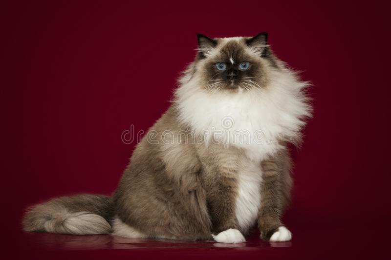 Fluffy beautiful white cat ragdoll with blue eyes, posing lying on red background. Fluffy beautiful white cat ragdoll with blue eyes, posing lying on studio red royalty free stock photo