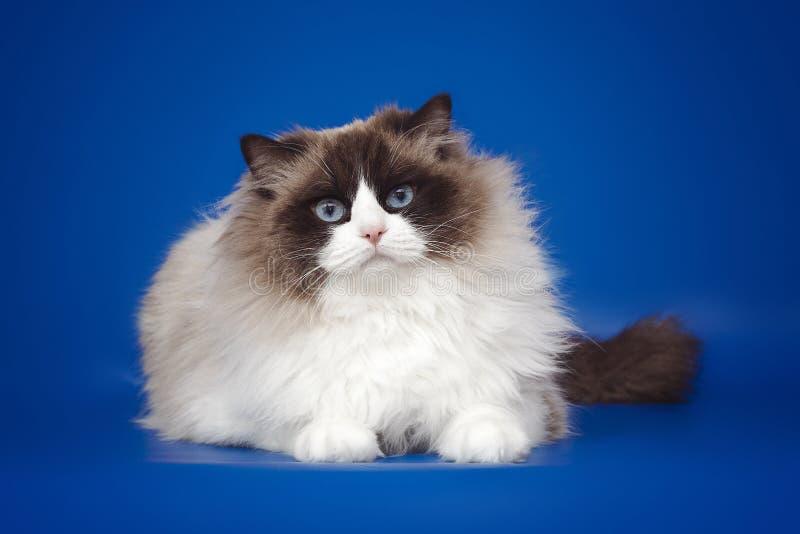 Fluffy beautiful white cat ragdoll, posing lying on studio blue background. Fluffy beautiful white cat ragdoll with blue eyes posing lying on studio blue stock image