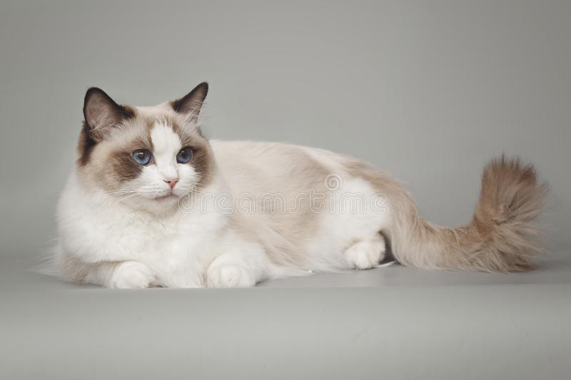 Fluffy beautiful white cat ragdoll with blue eyes posing while sitting on gray background. Fluffy beautiful white cat ragdoll with blue eyes posing while stock photos