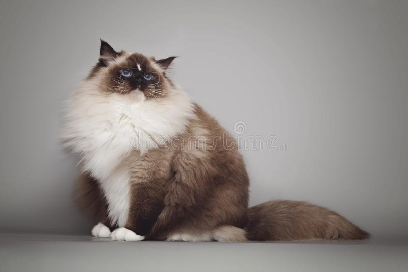 Fluffy beautiful white cat ragdoll with blue eyes posing while sitting on gray background. Fluffy beautiful white cat ragdoll with blue eyes posing while royalty free stock image