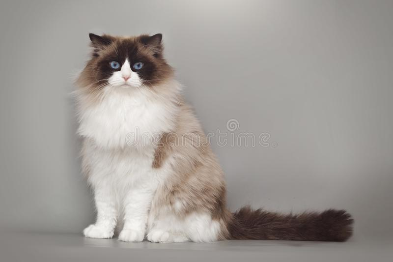Fluffy beautiful white cat ragdoll with blue eyes posing while sitting on gray background. Fluffy beautiful white cat ragdoll with blue eyes posing while royalty free stock photo