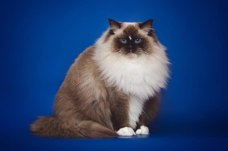 Fluffy beautiful white cat ragdoll posing while sitting on a studio blue background. Fluffy beautiful white cat ragdoll with blue eyes posing while sitting on a royalty free stock images