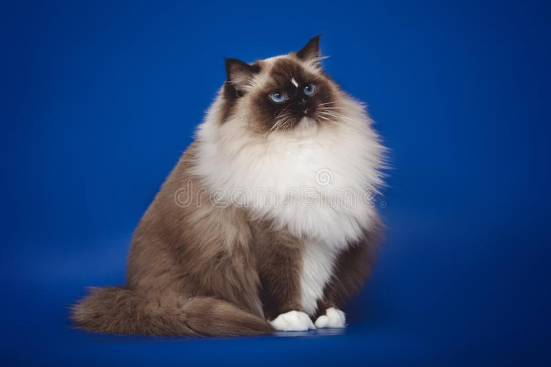 Fluffy beautiful white cat ragdoll posing while sitting on a studio blue background. Fluffy beautiful white cat ragdoll with blue eyes posing while sitting on a stock image