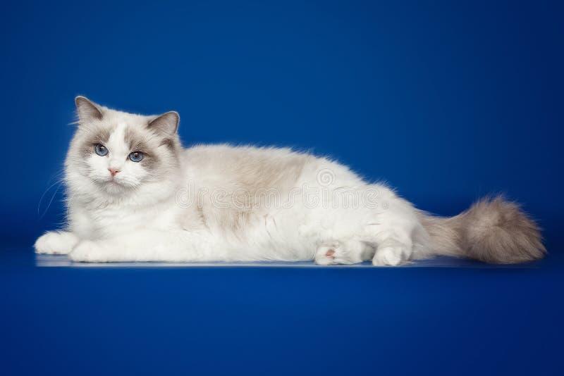 Fluffy beautiful white cat ragdoll, posing lying on studio blue background. Fluffy beautiful white cat ragdoll with blue eyes posing lying on studio blue stock photos