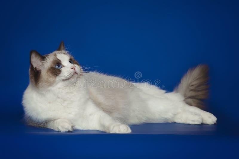 Fluffy beautiful white cat ragdoll, posing lying on studio blue background. Fluffy beautiful white cat ragdoll with blue eyes posing lying on studio blue stock photo
