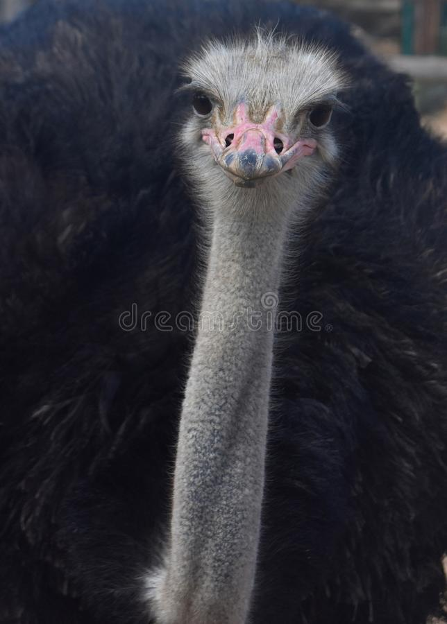 Fluffy Black Feathered Common Ostrich with a Long Thin Neck stock images