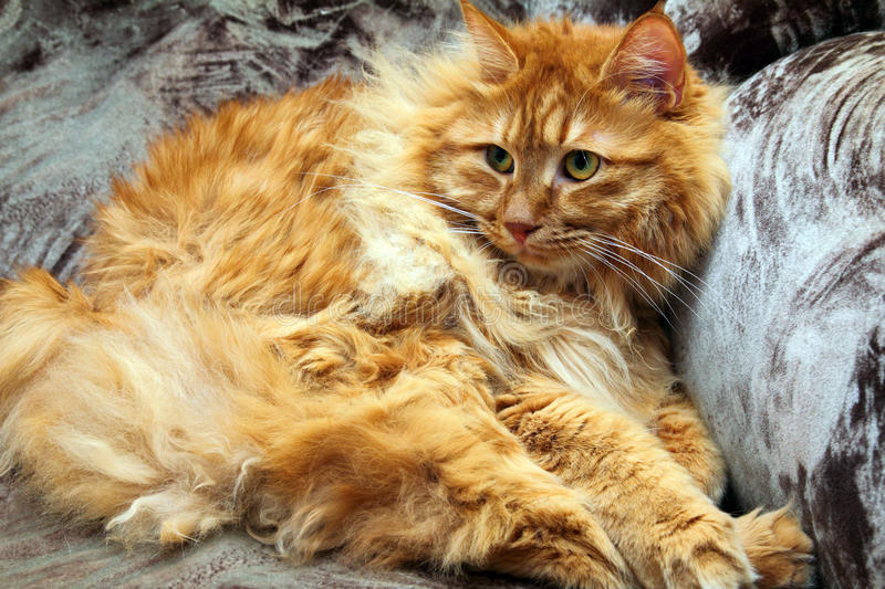 Fluffy Bobtail Cat Royalty Free Stock Images