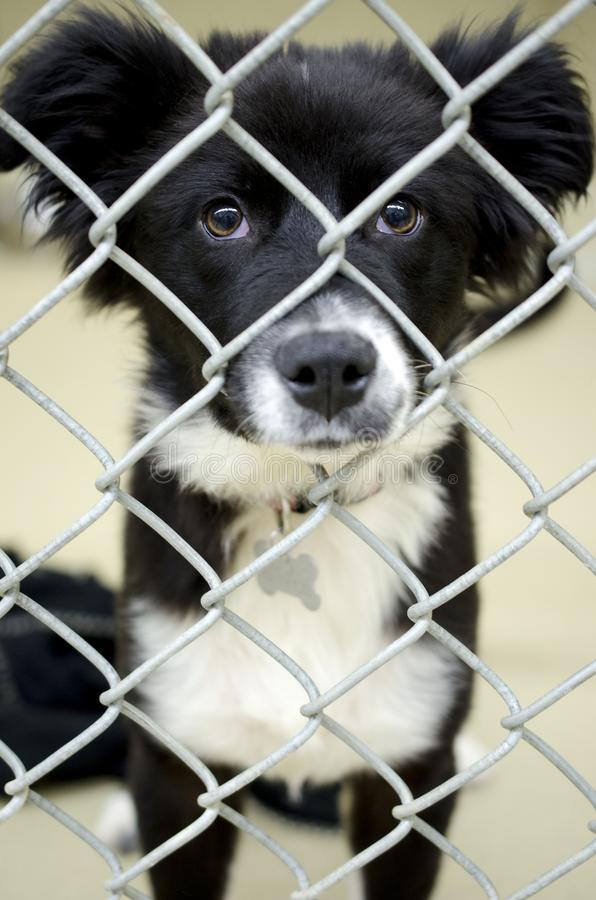 Fluffy Border Collie puppy in chain link kennel dog pound. Fluffy male black and white Border Collie puppy dog with bone shaped ID Tag in the animal shelter stock image