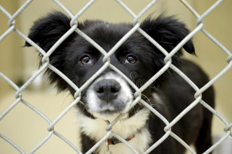 Fluffy Border Collie puppy in chain link kennel dog pound. Fluffy male black and white Border Collie puppy dog with bone shaped ID Tag in the animal shelter stock photo