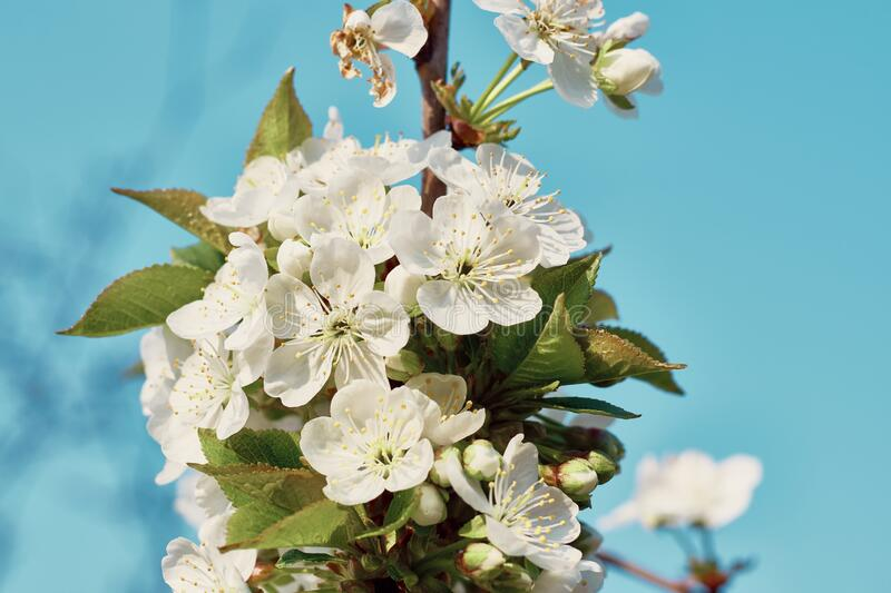 Fluffy branch of blossoming cherry flowers against a blue sky: spring time concept stock images