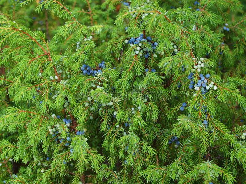Download Fluffy Branches Of A Juniper Royalty Free Stock Image - Image: 23257586