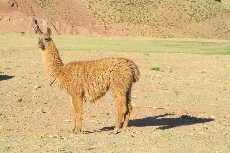 Fluffy brown Lama on altiplano. Fluffy lama on green grass meadow in the Andes mountains stock photography