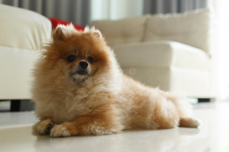 Fantastic Pomeranian Brown Adorable Dog - fluffy-brown-pomeranian-cute-dog-small-pet-friendly-83329464  Collection_318795  .jpg