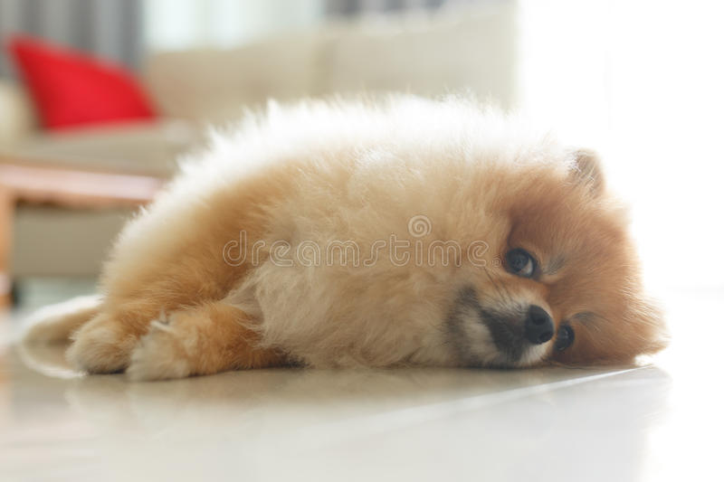 Most Inspiring Pomeranian Brown Adorable Dog - fluffy-brown-pomeranian-cute-dog-small-pet-friendly-92115938  Perfect Image Reference_421171  .jpg