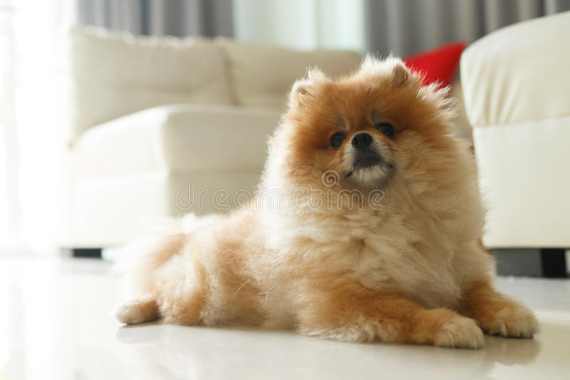 Most Inspiring Pomeranian Brown Adorable Dog - fluffy-brown-pomeranian-cute-dog-small-pet-friendly-92115946  Perfect Image Reference_421171  .jpg