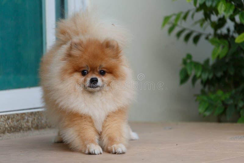 Fantastic Pomeranian Brown Adorable Dog - fluffy-brown-pomeranian-cute-dog-small-pet-friendly-92116620  Collection_318795  .jpg