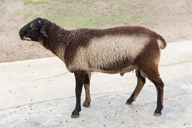 Fluffy brown and white child young sheep royalty free stock photos