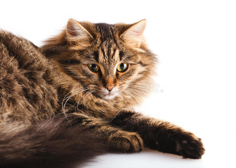 Download Fluffy cat stock image. Image of pets, looking, animals - 16879963