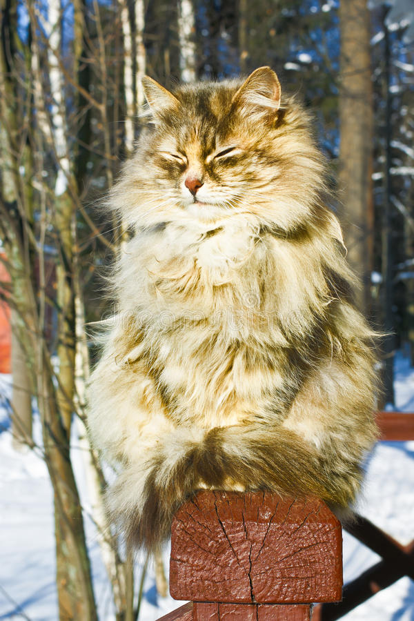 Fluffy cat. Cat basks at sunlight in winter midday royalty free stock photo