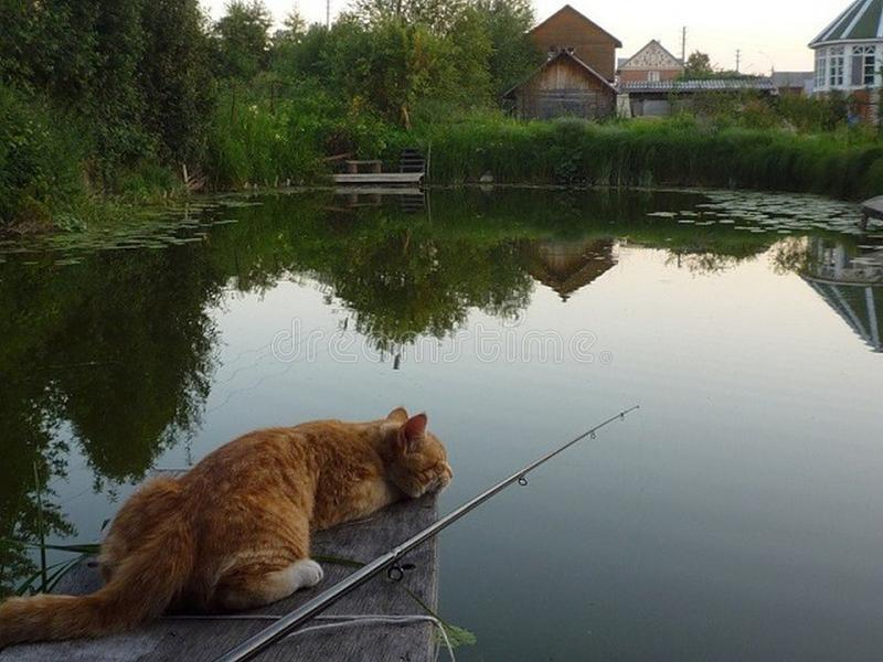 Fluffy cat fishing royalty free stock photography