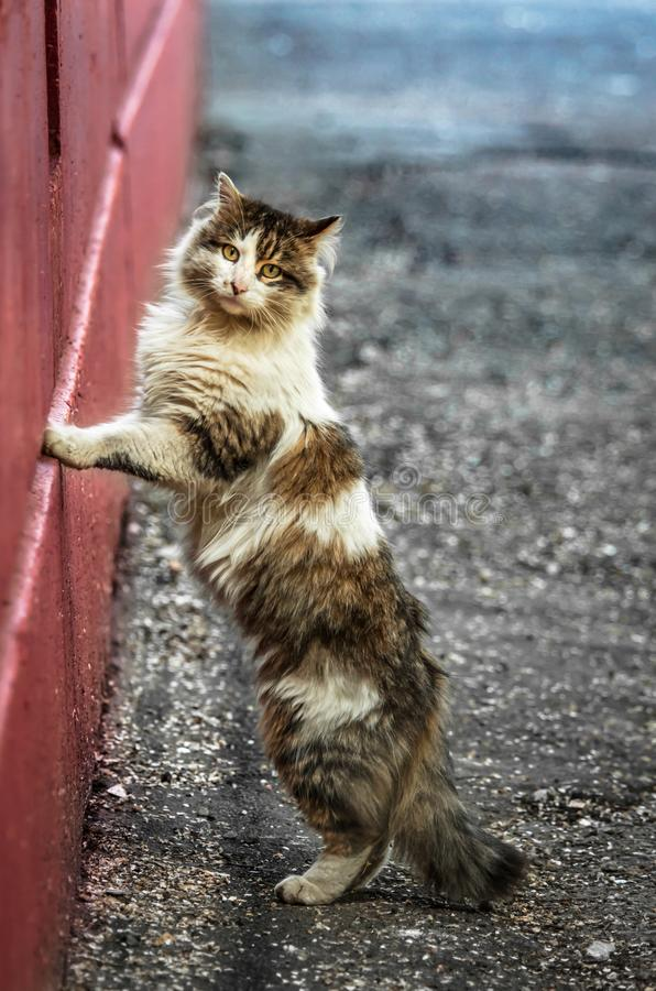 Fluffy cat in full growth leaned on the red wall standing on the pavement stock images