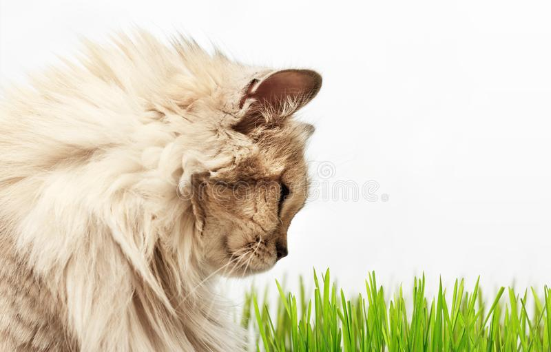 Fluffy cat looking ongreen grass stock photos