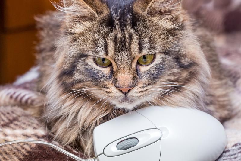 Fluffy cat near a computer mouse. Mastering of modern computer technologies_. Fluffy cat near a computer mouse. Mastering of modern computer technologies stock images