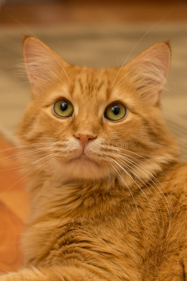 Download Fluffy cat stock photo. Image of short, sitting, green - 33306286
