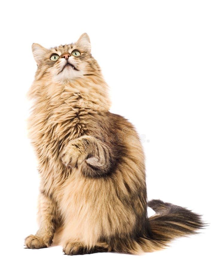Fluffy cat raising paw. Isolated on white. Cat raising paw. Isolated on white stock images