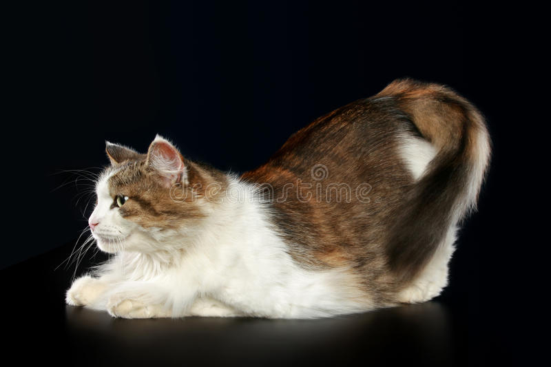 Download Fluffy cat relaxing stock image. Image of wildlife, tabby - 17656533