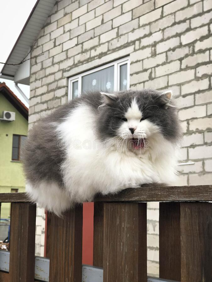 Fluffy cat sitting on the fence. Close up.  stock photos