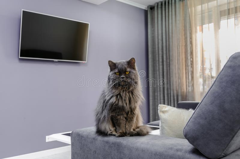 Fluffy cat sitting on sofa in the living room. Beutiful fluffy cat sitting on sofa in the living room stock photos