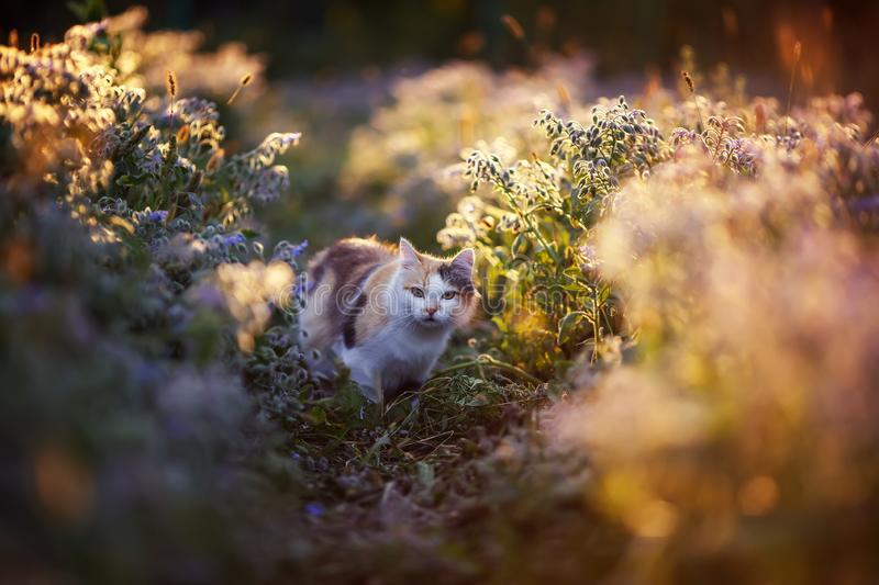 Fluffy cat walks in the Bush bright flower flooded with sunlight warm light meadow in summer. Beautiful fluffy cat walks in the Bush bright flower flooded with stock photo