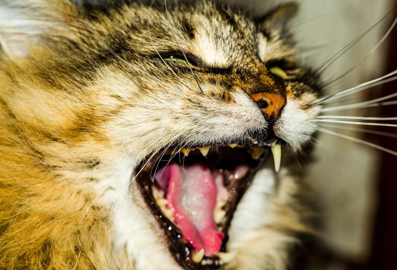 Fluffy the cat is yawning royalty free stock photo