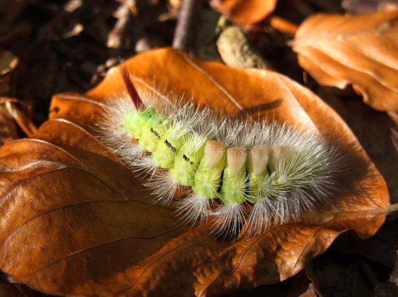 Download Fluffy caterpillar stock photo. Image of green, animal - 11756690