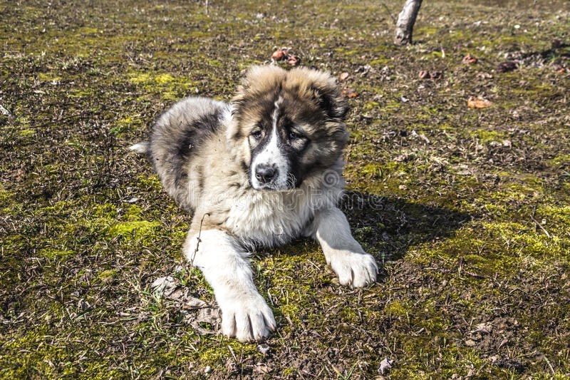 Download Fluffy Caucasian Shepherd Dog Is Lying On The Ground Stock Photo - Image of fluffy, hair: 83723064