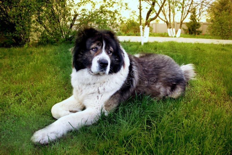 Fluffy Caucasian shepherd dog is lying on the ground. Adult Cau. Adult Caucasian Shepherd dog. Fluffy Caucasian shepherd dog is lying on the ground royalty free stock photo