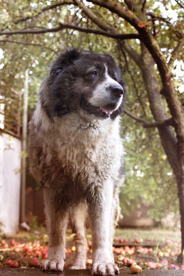 Fluffy Caucasian shepherd dog in the yard. Caucasian sheepdog in. Autumn time.Adult Caucasian Shepherd dog royalty free stock photo
