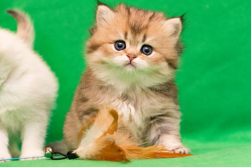 Fluffy charming little Golden British kitten sits next to a cat toy on a green background. And looks into the camera stock images